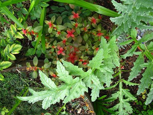 Centradenia grandiflora