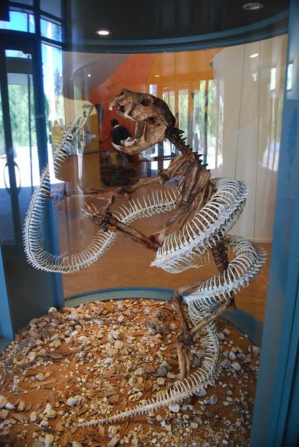Thylacoleo vs Giant Matsoiid Snake - Naracoorte Fossil Centre