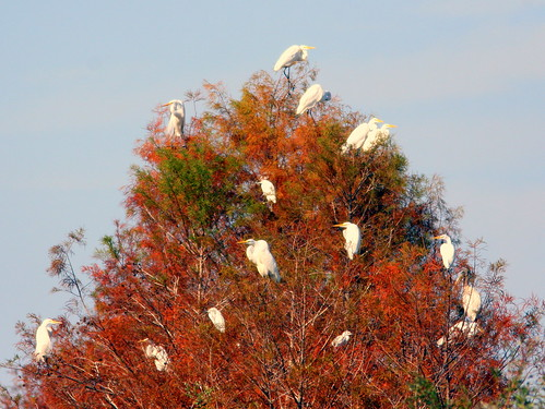 Egrets On Cypress 20100118