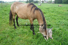 lzmanggeb(57) (Lothar Lenz) Tags: horse caballo cheval weide cavalo pferd hest equus paard geburt hst fohlen hestur stute konj hobu zirgs mangalargamarchador gangpferd fohlenbeifuss fotopferdefotoarchivdefeige gangpferdezuchtlimbacherhof fohlenfelicidadevonlimbach