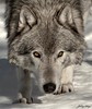 Grey Wolf  Connection (Johny Day) Tags: wolf lobo loup portfolio timberwolf greywolf anawesomeshot goldstaraward vosplusbellesphotos