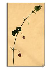 Invierno (Paco CT) Tags: winter red flower yellow rojo flor amarillo invierno minimalism simple minimalismo vegetal 2010 barbadas ltytr1 pacoct
