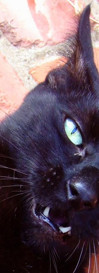wolfman cat