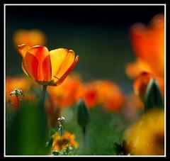 Enjoying the light..... (Levels Nature) Tags: uk light england orange colour nature petals kent dof tulips bokeh petal explore tonbridge fantasticflower