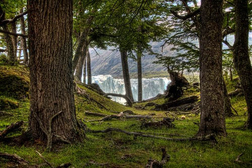 Perito Moreno Through the Trees