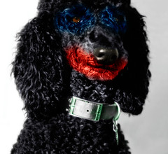 dog chien perro poodle utata batman joker darkknight standardpoodle utataorg canicheroyal gregwestfall gregwestfallphotography