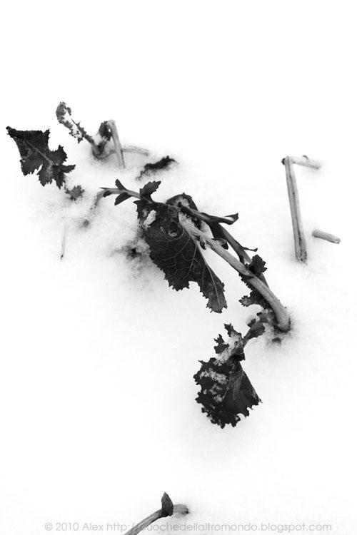 Cavolo sotto la neve