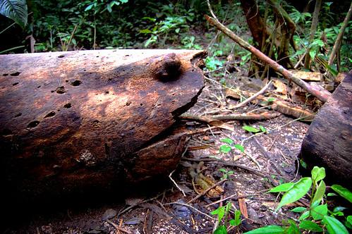 Tree tortoise