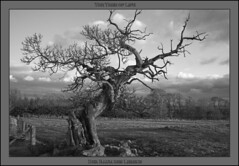 Tree of Life - 1181 BW (NH_Snap) Tags: bw white black tree scotland und 100 50 schwarz falkirk stirlingshire weis blackwhitephotos idream torwood flickrdiamond nhsnap landschaftnaturlandscape