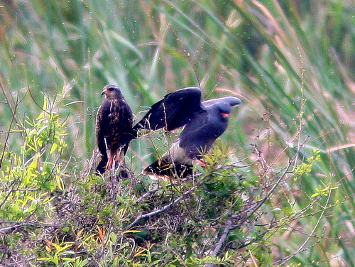 Snail Kite Pair 2-20100215