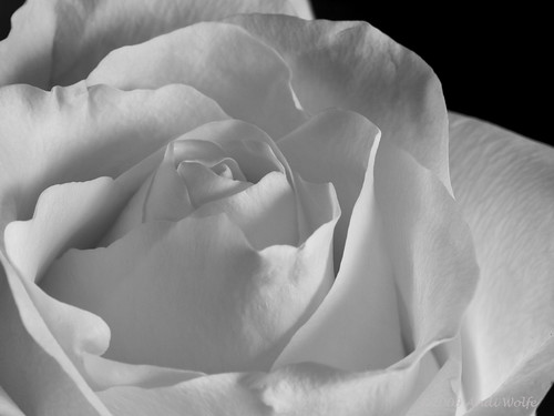 Rose experiment in black  & white