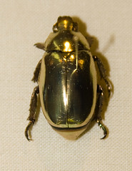 Jewel Scarab - Chrysina resplendens (leandroarthropodsclub17) Tags: usa color nature animal closeup america canon insect gold newjersey unitedstates beetle favorites places animalia arthropoda scarab invertebrate arthropod coleoptera scarabbeetle tomsriver insecta scarabaeidae pterygota rutelinae neoptera endopterygota ef28135mmf3556isusm score30 goldcolored bugmuseum insectidentification scarabaeoidea jewelscarab chrysina insectropolis rutelini animalidentification bugseum