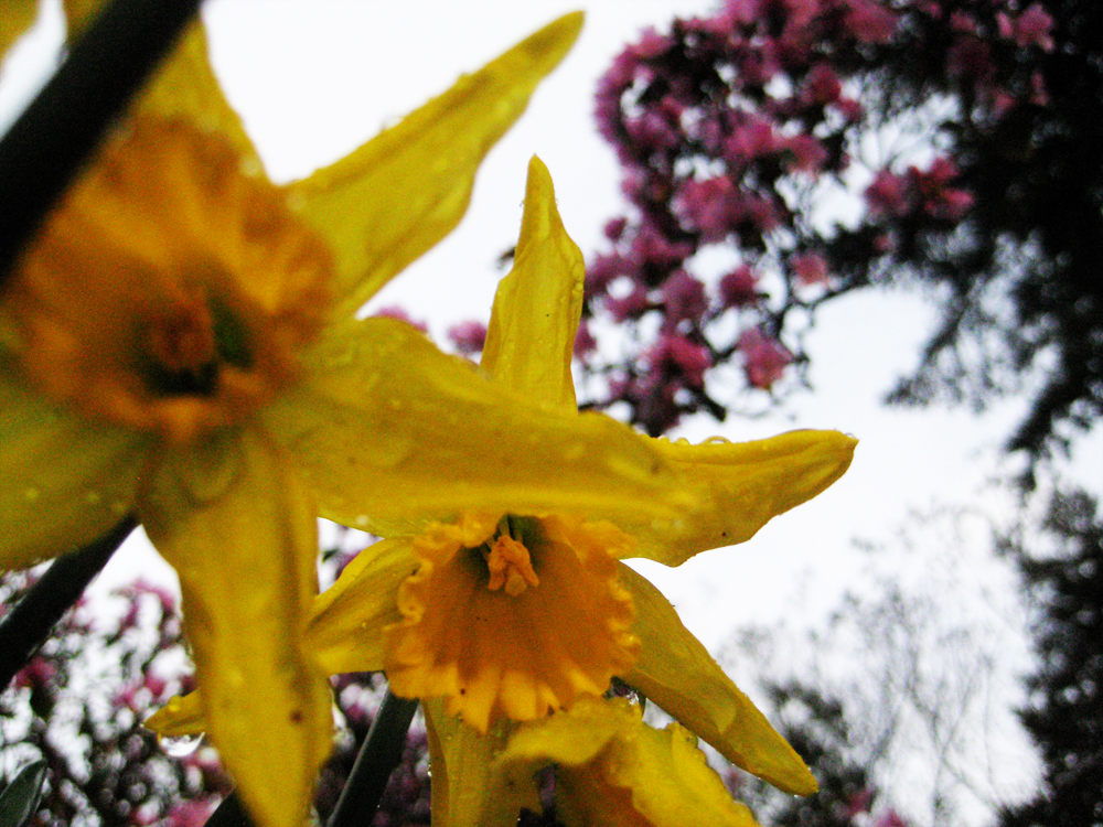 daffodil and rhody