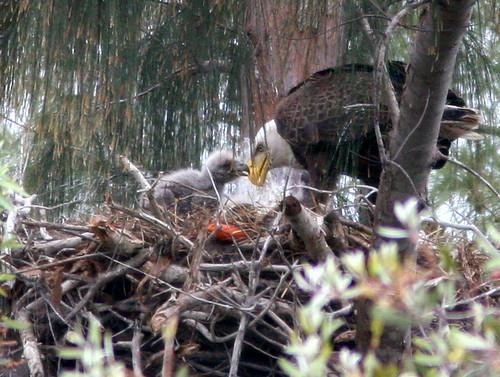 Female feeding chick 20100219