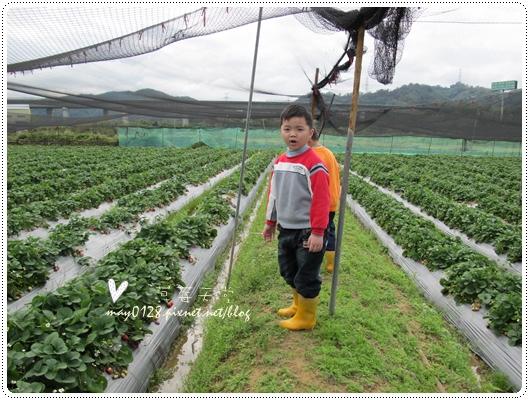 關西採草莓橘子牛欄河2010.02.20-1