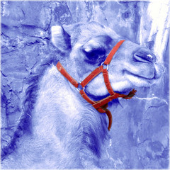 "Standing in the cold (Tedje51) Tags: photoshop zoo dromedary legacy challenge dromedaris dierenparkamersfoort awardtree miasbest daarklands flickrvault trolledproud crazygeniuses ""exoticimage"" heavensshots blauwbekken"