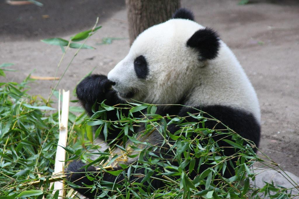 Panda (Su-Lin)