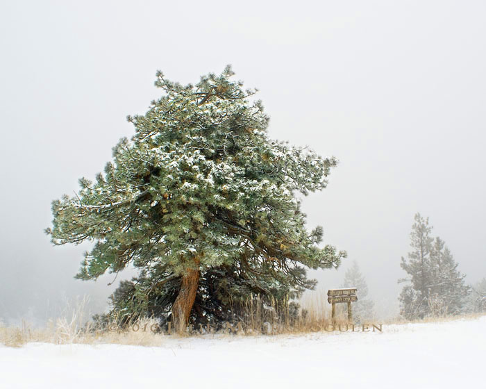 An ancient and twisted ponderosa pine has withstood time and the severe weather on a mountaintop in Colorado.