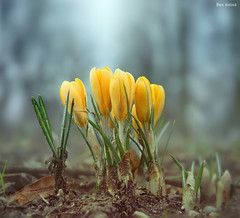 Crocuses (Ben Heine) Tags: life park camera winter light sky blur france flower macro green art nature ecology fleur grass leaves yellow season lens landscape photography photo petals spring energy soft power bright cloudy sweet earth lumire space air horizon small perspective manipulation crocus vert oxygen ciel tiny montage terre environment veins lille breathe fragile par