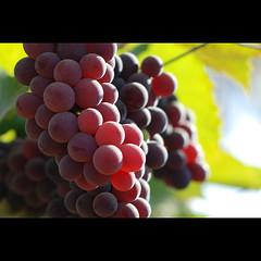 ripe (sash/ slash) Tags: travel winter black fruit vineyard wine sweet bangalore culture sash grapes agriculture cultivation ripe sajesh
