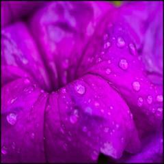 Amistad - Friendship (Pilar Azaña Talán ) Tags: flower color flor petunia mywinners abigfave 100commentgroup pilarazaña virgiliocompany
