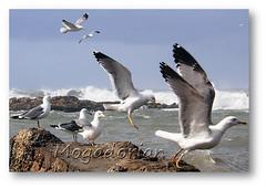 Seagulls (mogadorian) Tags: gulls flight essaouira artofimages mogadorian