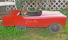 Francesca the Yorkie DRIVING! (candy_rose) Tags: california red dog pet baby brown black yorkie face car northerncalifornia metal vintage garden puppy drive spring driving sitting photographer looking antique francesca teddybear pup yorkshireterrier 2010 pedalcar 10weeks metalcar candacerose