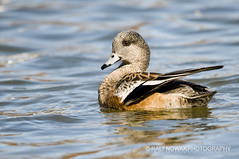 American Wigeon Hen (Ralf Nowak) Tags: ontario canada bird nature birds animal fauna burlington duck nikon wildlife hamilton ducks sigma american americana lasalle waterfowl anas widgeon americanwigeon hfg wigeon d300 hamiltonharbour anasamericana kaczka baldpate americanwidgeon sigmalens kaczki hamiltonbay wistun wistunamerykaski lasallepark amerykaski nikond300