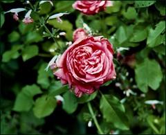 I Know.  But I Do Not Approve. (photo_secessionist) Tags: flower film rose analog 35mm garden poetry asahi pentax kodak decay ants mesuper latesummer ednastvincentmillay gold200 citrit soligorf35452880mmzoommacrolens pentaxart memorimorti