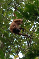 DSC_8883.NEF (Bird Brian) Tags: peru amazonbasin tambopataresearchcentre