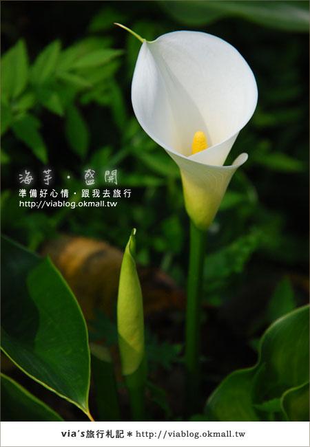 【2010竹子湖海芋季】陽明山竹子湖海芋季~海芋盛開囉!21