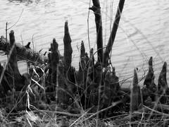 Bald Cypress, B&W (coldteablues) Tags: blackandwhite plants lake tree landscape roots botany biology picnik baldcypress baldcypressknees baldcypressroots