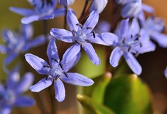 scilla bifolia a (...DESO) Tags: blue light plants flower macro verde green nature closeup nikon blu natura pic tokina fiore biella luce pianta sottobosco flickr deso spontanee tokina100 desogus flickraward