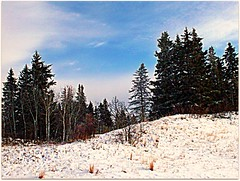 timber-line (nfin (verna R)) Tags: trees snow sprucetrees sceniclandscape concordians