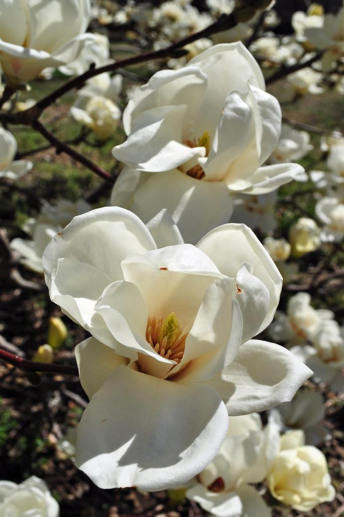 Magnolia denudata 6