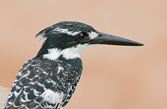 Pied Kingfisher (Marc_Scott-Parkin) Tags: specanimal