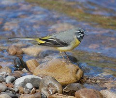 Male Grey Wagtail (dave millers photos) Tags: male birds river grey richmond british wagtail swale