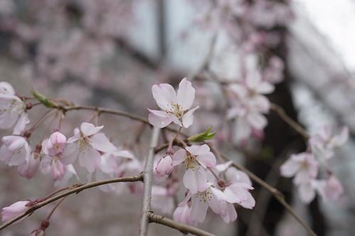 sakura starts