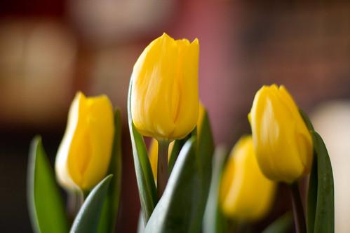tulips 017-1