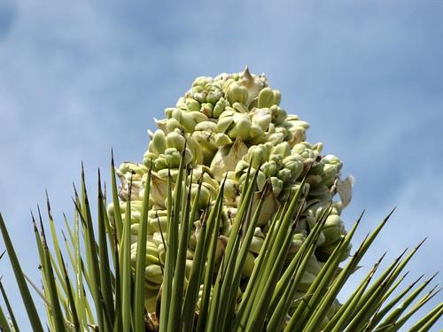 Joshua Tree Blossom 2
