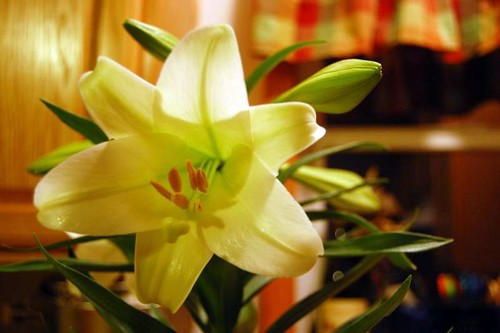 easter lily