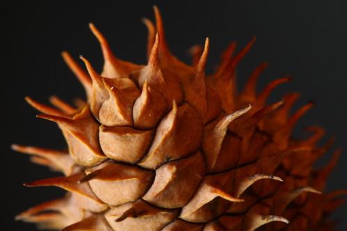 Juvenile pine cone 1