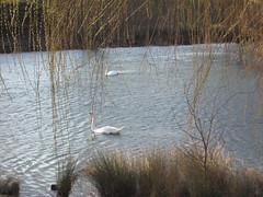 2010-3-7-7 (Shanadabe) Tags: park winter lake paris france water animals canon de landscape eau hiver lac crteil val swans 94 suburb parc cygnes banlieue marne
