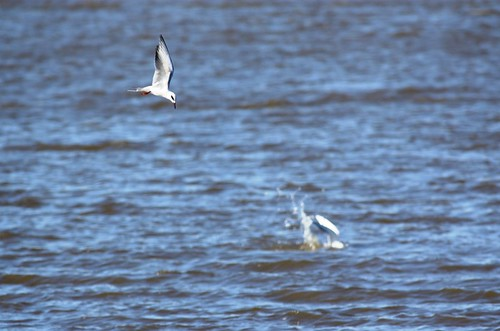 Forster's Tern - fishing #1
