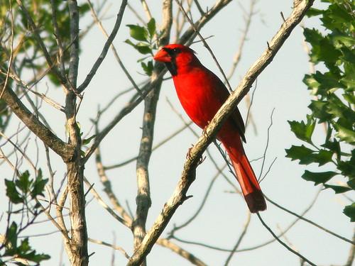 Northern Cardinal 20100325