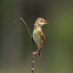 Golden-headed Cisticola (petefeats) Tags: nature birds australia brisbane queensland goldenheadedcisticola cisticolaexilis oxleycommon
