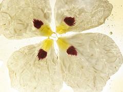 Productos SANOFLORE: ptalos (Tendencias Moda y Belleza) Tags: producto cosmetica sanoflore