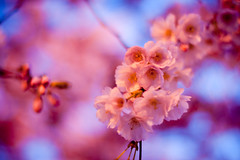 Plum blossoms (Laurence Vagner) Tags: pink flower fleur rose cerisier prunus plumblossoms prunier
