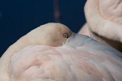 IMG_6430 (Photophil.li) Tags: flamingo auge tier vogel