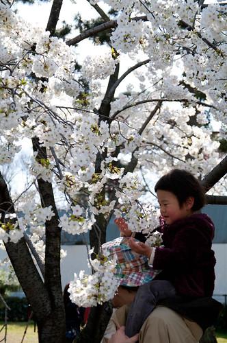 桜をつまむ